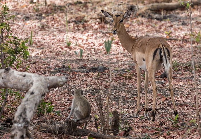 Mosi-oa-Tunya National Park Impala (Aepyceros)