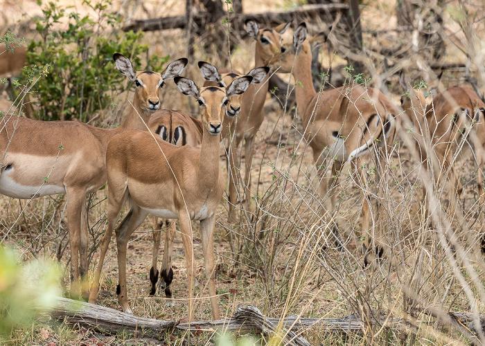 Mosi-oa-Tunya National Park Impalas (Aepyceros)