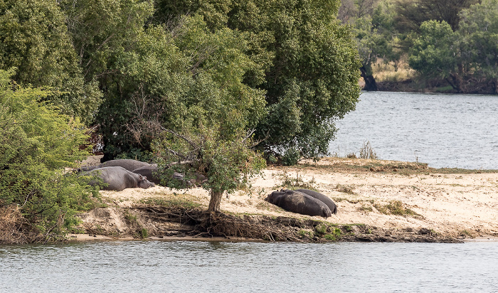 Mosi-oa-Tunya National Park Sambesi, Flusspferde (Nilpferd, Hippopotamus amphibius)