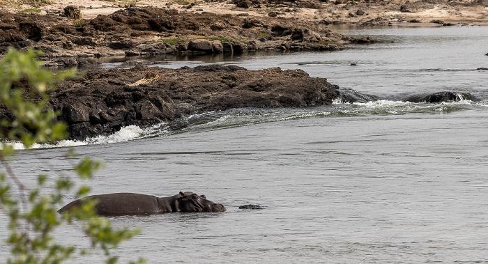 Mosi-oa-Tunya National Park Sambesi, Flusspferd (Nilpferd, Hippopotamus amphibius)