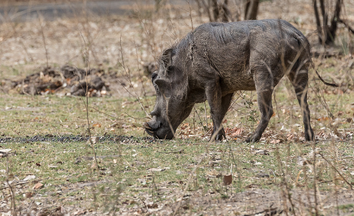 Mosi-oa-Tunya National Park Warzenschwein (Phacochoerus africanus)