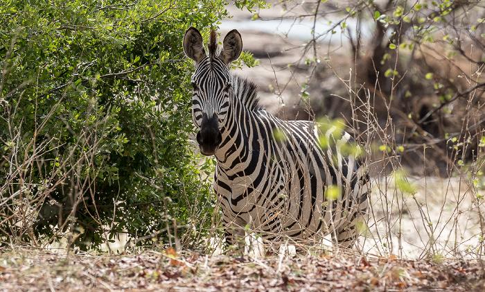 Mosi-oa-Tunya National Park Steppenzebra (Pferdezebra, Equus quagga)