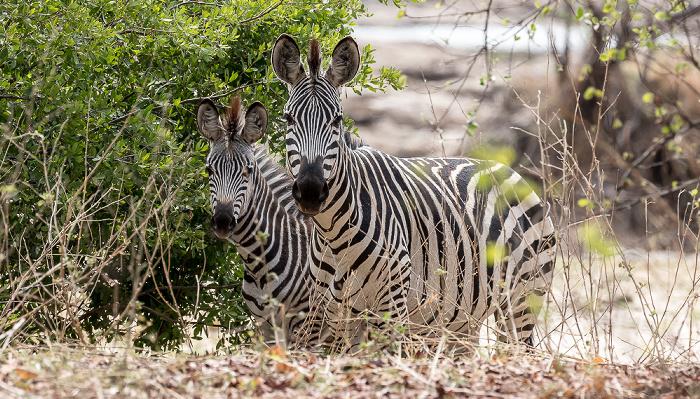 Mosi-oa-Tunya National Park Steppenzebras (Pferdezebra, Equus quagga)