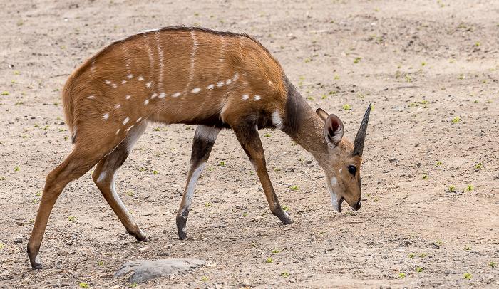 Mosi-oa-Tunya National Park Buschbock (Tragelaphus)