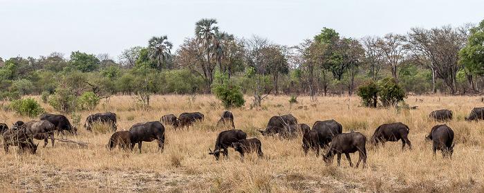 Mosi-oa-Tunya National Park Kaffernbüffel (Schwarzbüffel, Afrikanische Büffel, Syncerus caffer)