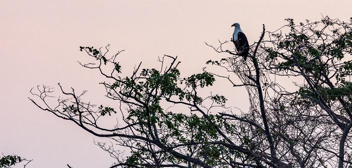 Mumbo Island Schreiseeadler (Haliaeetus vocifer)