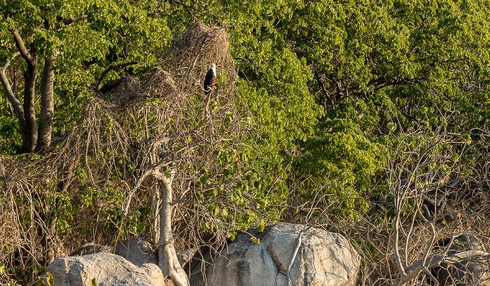 Malawisee Mumbo Island: Schreiseeadler (Haliaeetus vocifer)