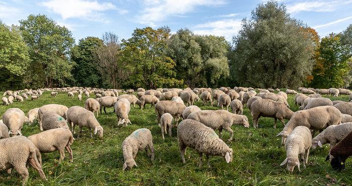 Englischer Garten: Schafherde München