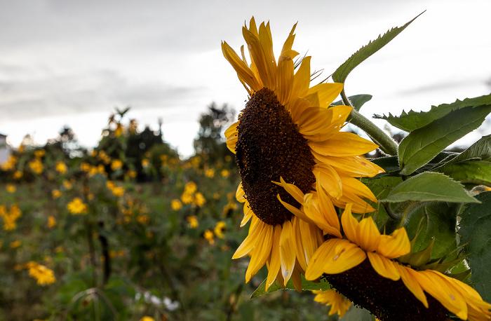 Karpfenstraße: Sonnenblumen München